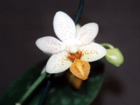 Phalaenopsis Mini Mark by W.Apel