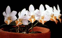 Phalaenopsis Formosa Dream by O.Gruss