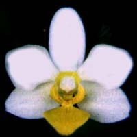 Phalaenopsis Little Miss Daisy by O.Gruss