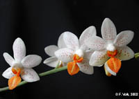 Phalaenopsis Mini Mark by F.Volk
