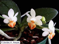 Phalaenopsis Micro Gem by Gordon H. Kenyon